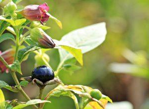 Baies et fleurs de belladone toxique