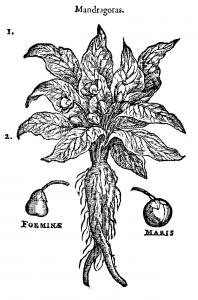 Gravure ancienne de mandragore